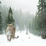 leopard-1647940_1920